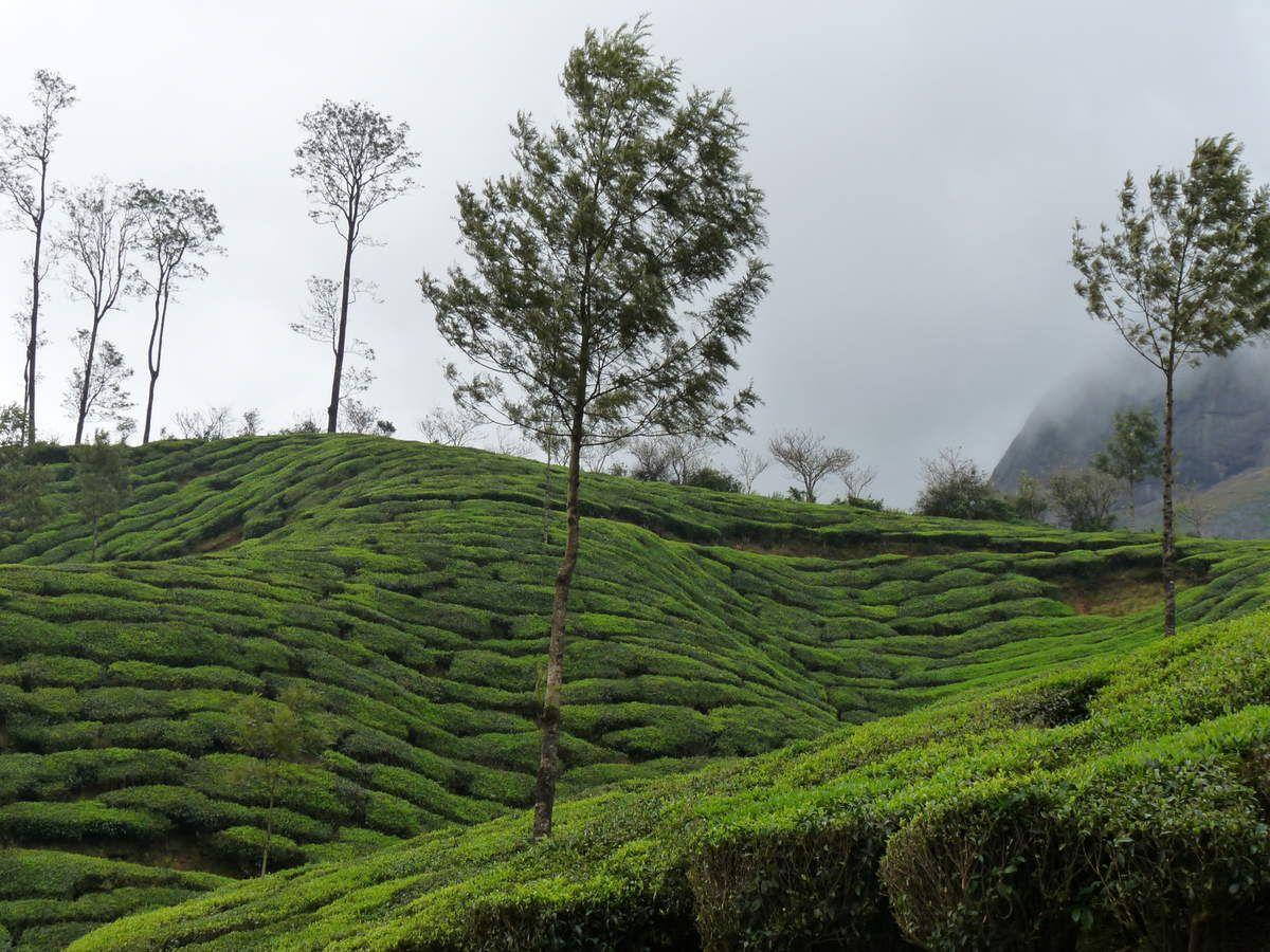 Munnar : les plantations de thé et le Chinnar wildlife sanctuary