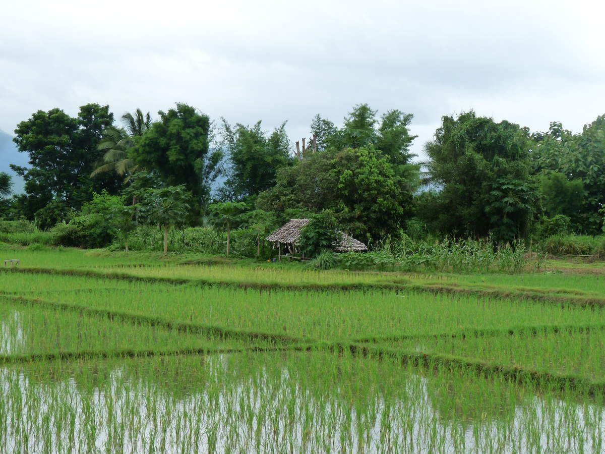 Mae Sariang : paysage de rizières