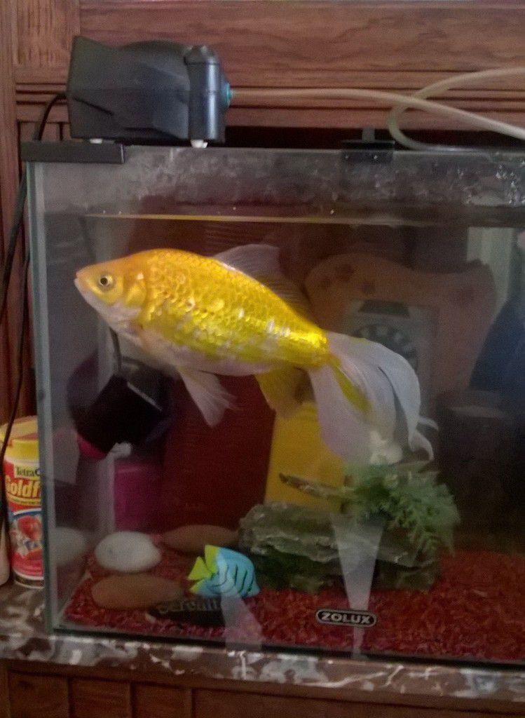 Voici mon nouveau poisson. Big bubulle