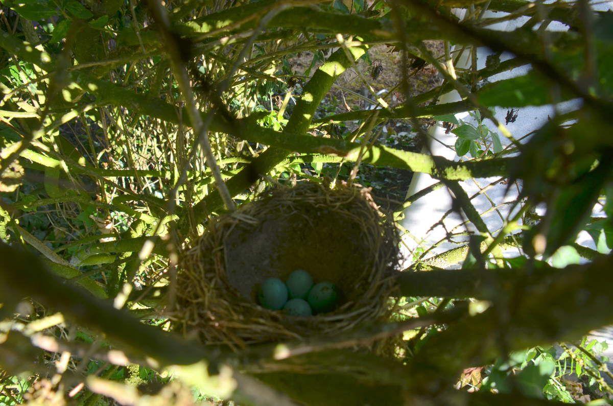 Le nid de la grive et ses oeufs