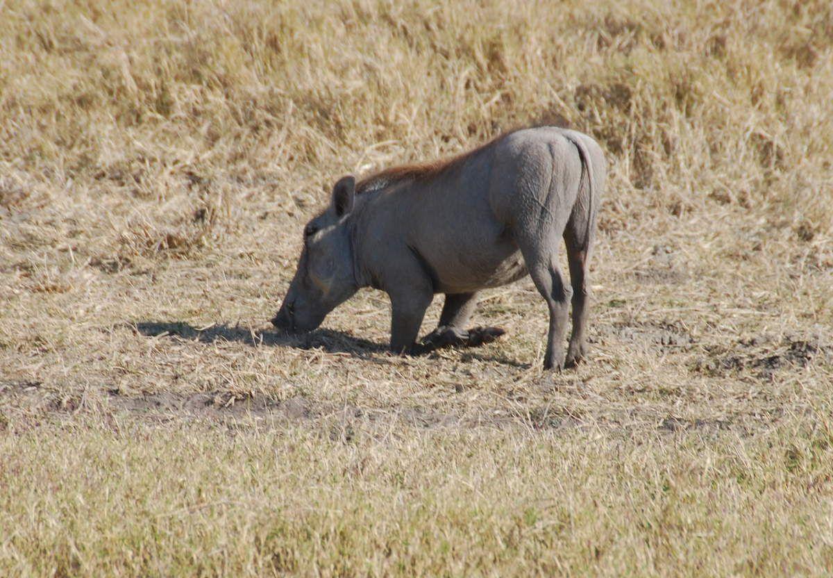 N'ayant pas de cou, le phacochère est obligé de s'agenouiller pour manger.