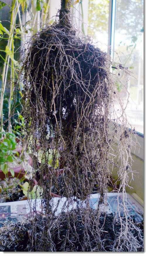 Tomate avec ses racines déroulées
