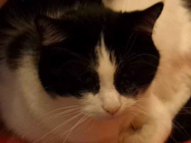 Photos de petite Fleur chat noir et blanc