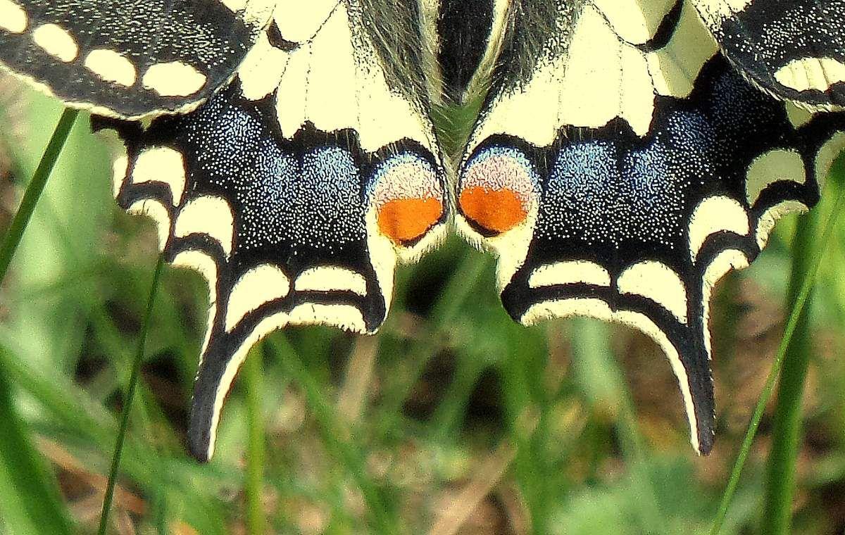 Le Machaon (Papilio machaon Linnaeus) combe à la serpent (Dijon), pointe de Morgemain, 16/05/2015