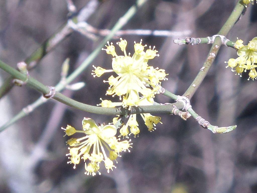Cornus mas officinalis-cornouiller  mâle