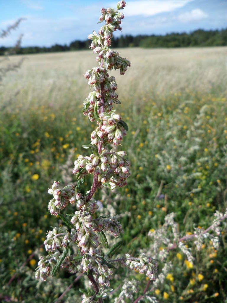 Artemisia vulgaris-armoise commune