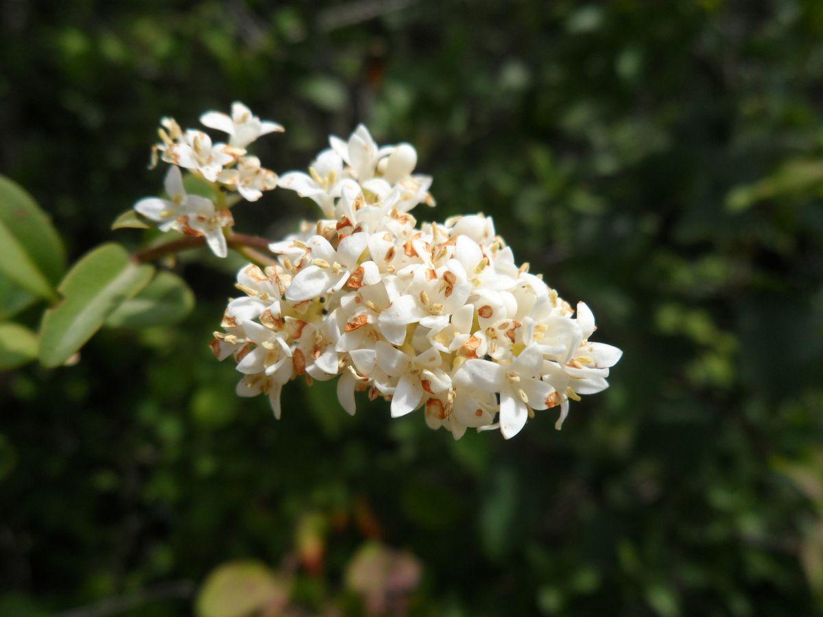 Ligustrum vulgare-troen commun