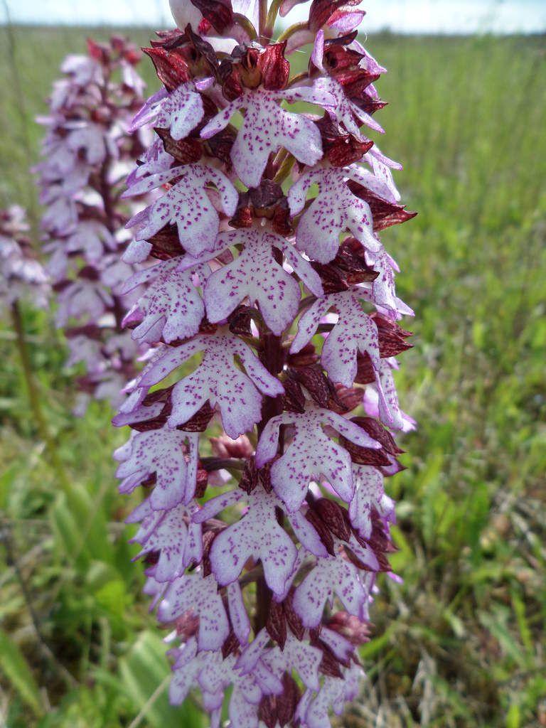 Orchis purpurea-orchis pourpre
