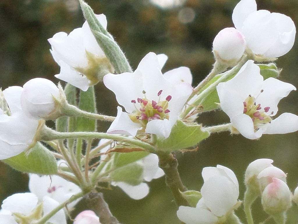 Sorbus aria-alisier blanc