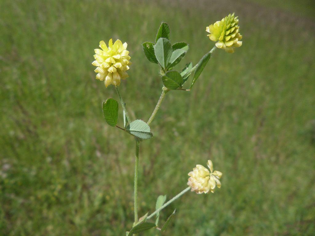 Trifolium badium-trèfle bai
