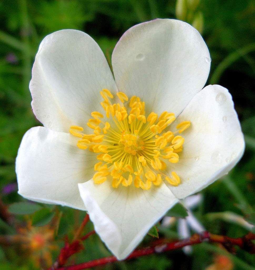 Rosa pimpinelifolia-rosier pimprenelle