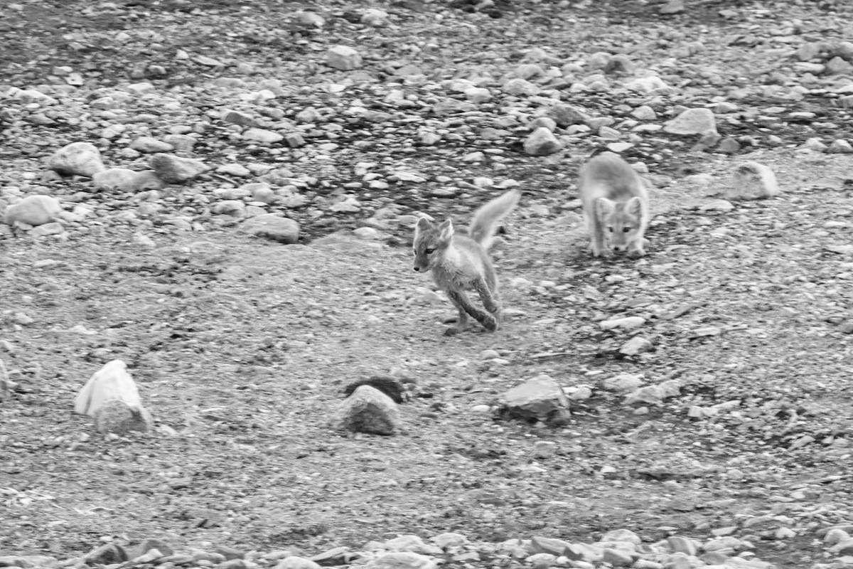 Safari de renards et d'ours, oui c'est possible !