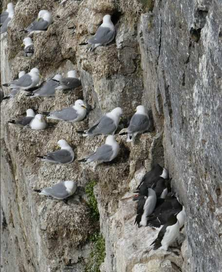 Kittywakes and Guillemots