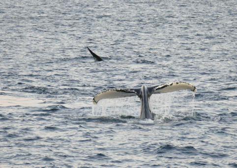 Cétacé, dit la baleine !