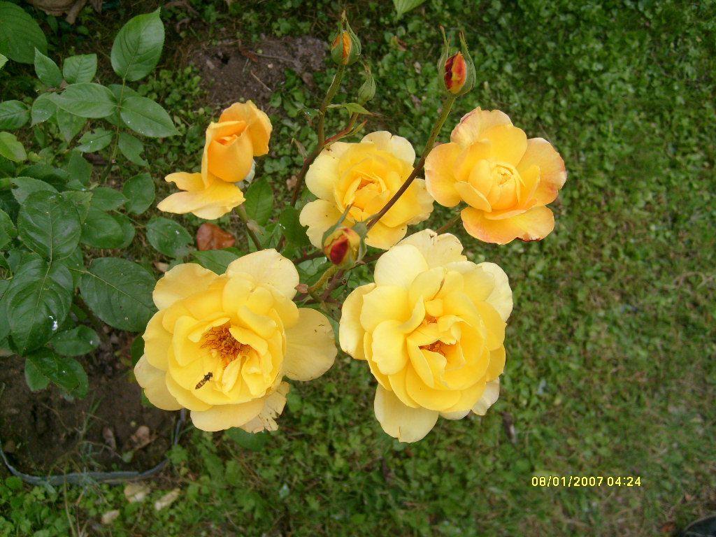 Les roses c'est comme l'immbilier, c'est joli mais ca peut piquer