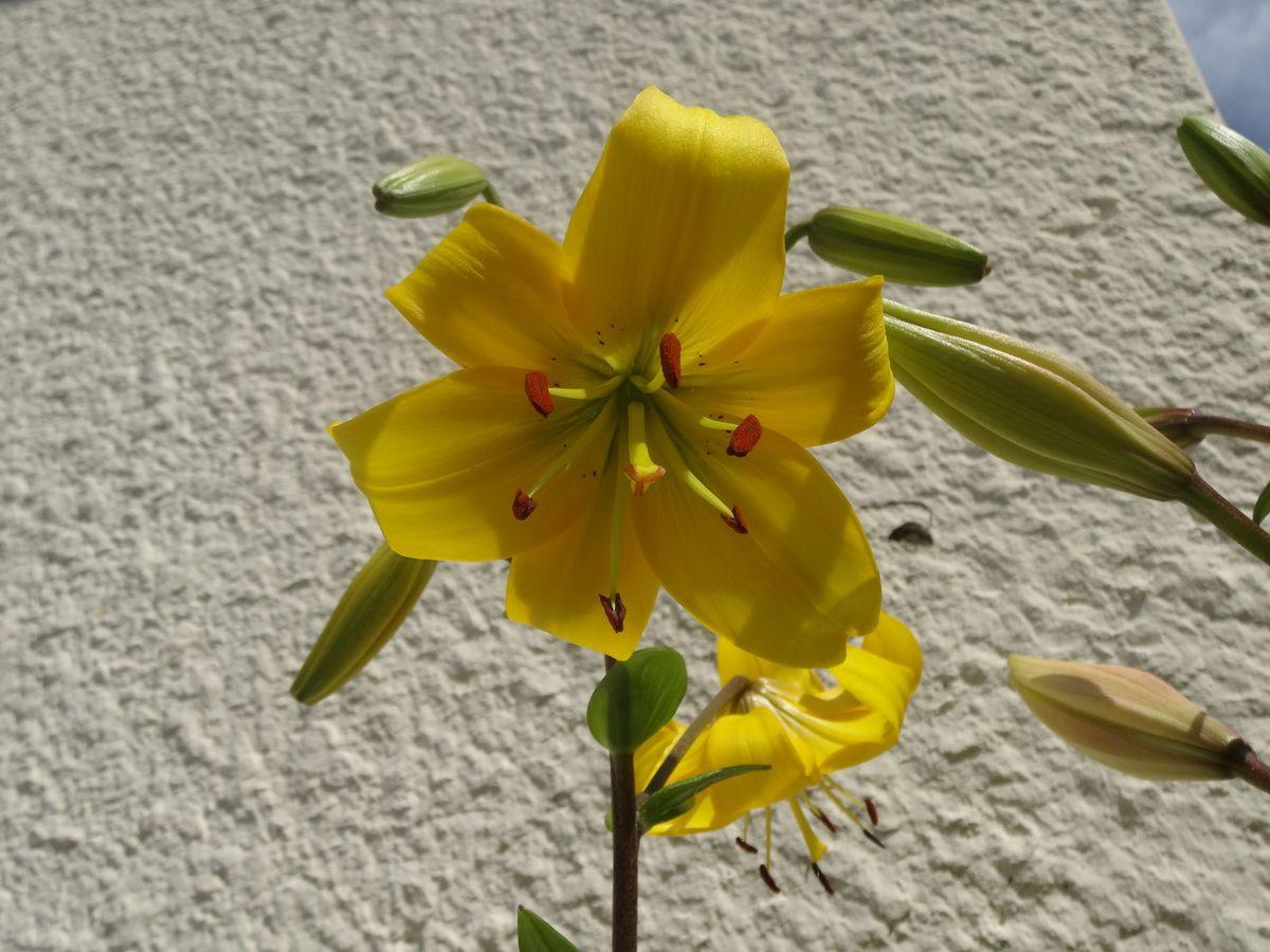 Les premiers lys et fleurs jaunes (je ne me souviens plus du nom !)