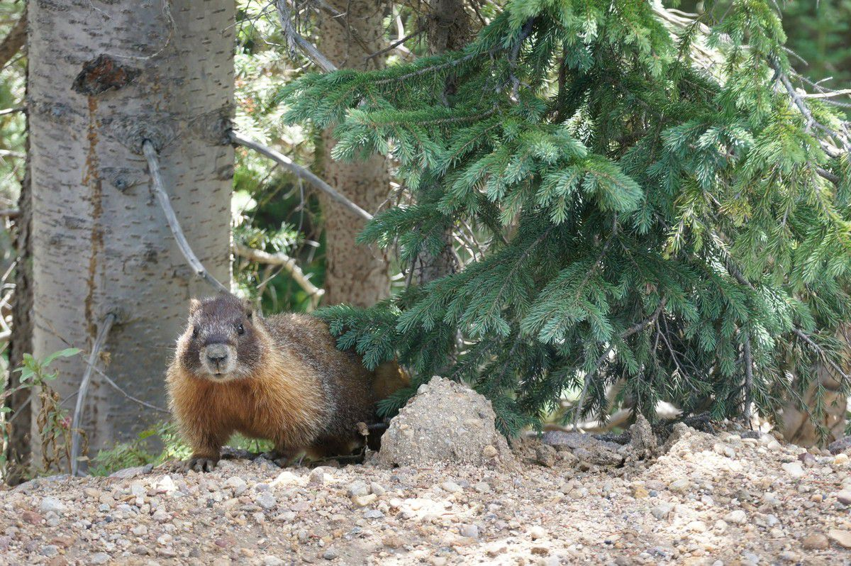 Marmotte sur Old Fall River Road