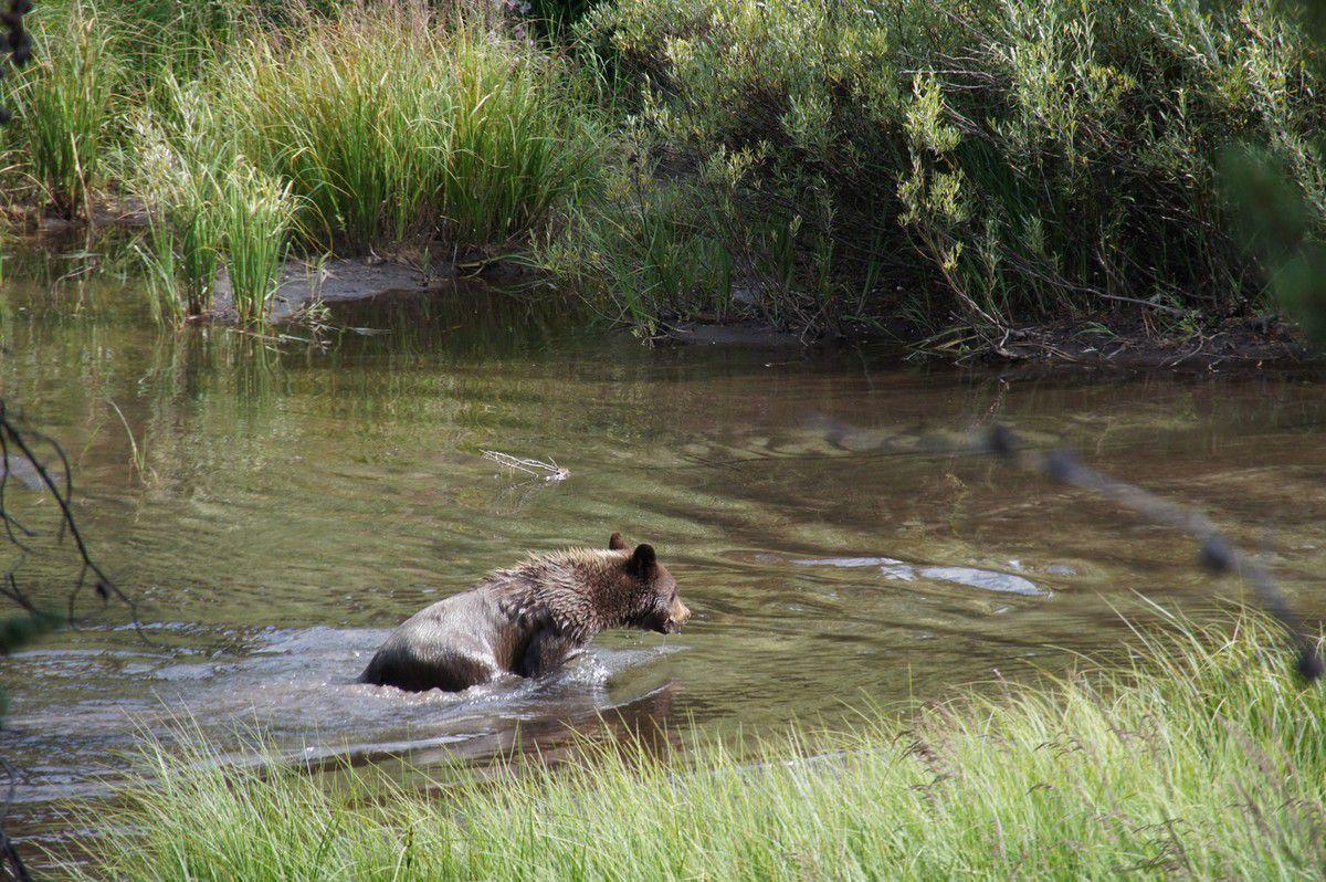 Le 2ème ours, après son plongeon