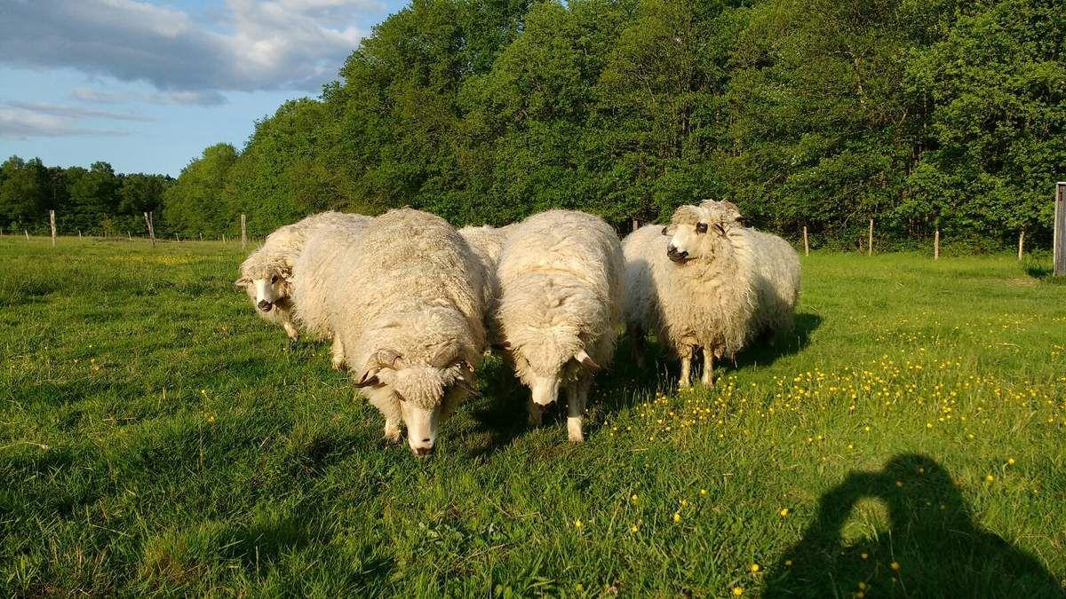 Dis Maîcresse, on va la garder encore longtemps, notre laine ?