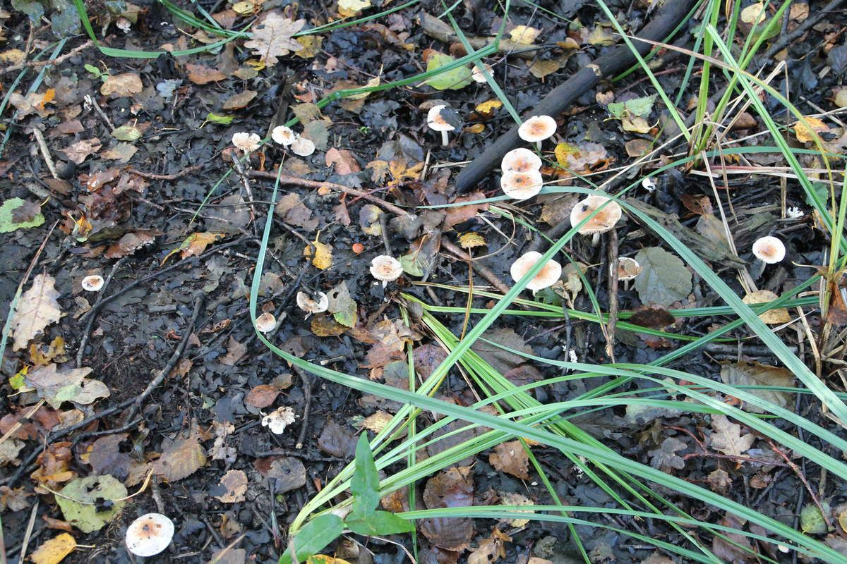 Ces champignons ne sont pas comestibles