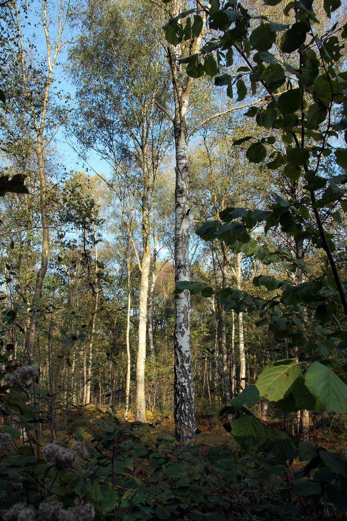 Coings rôtis à la vanille - Région nord(10) - la forêt domaniale de Saint Amand