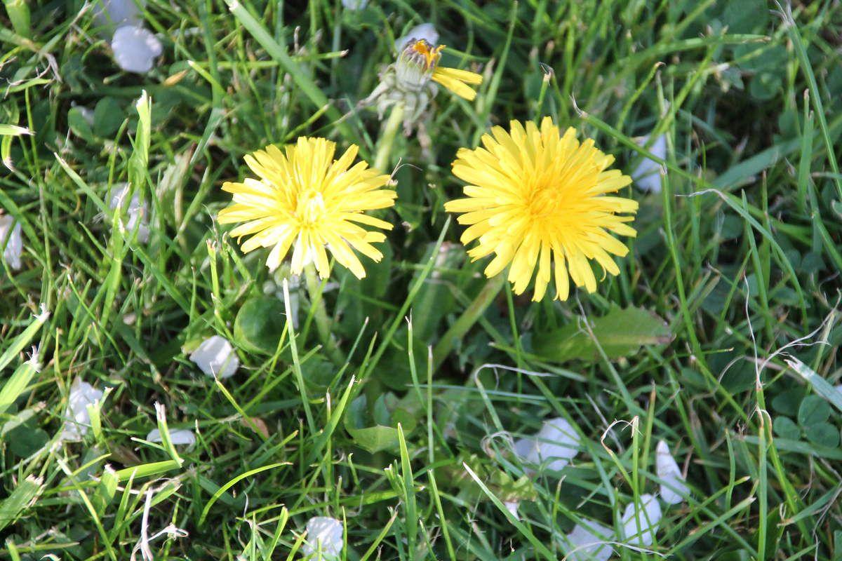 Miel de fleurs de pissenlit