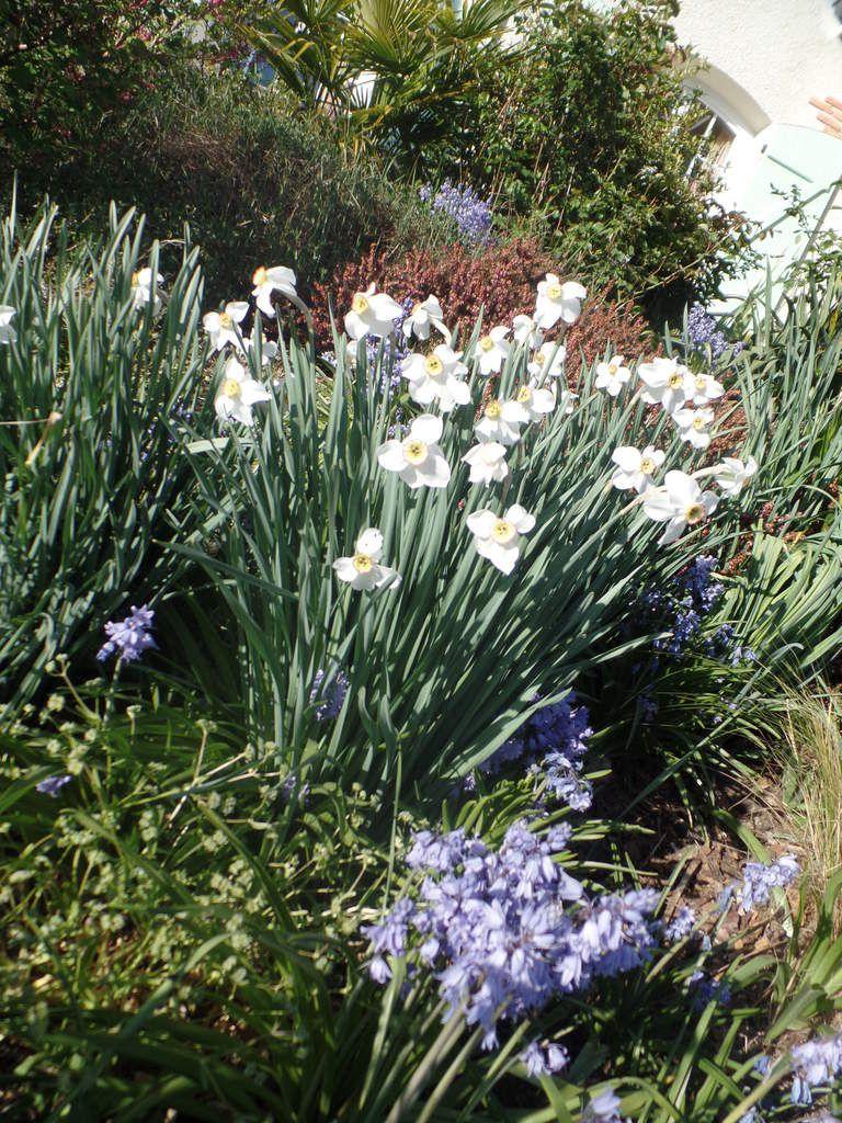 bouquet de narcisses des poètes avec des jacinthes des bois (bleues)