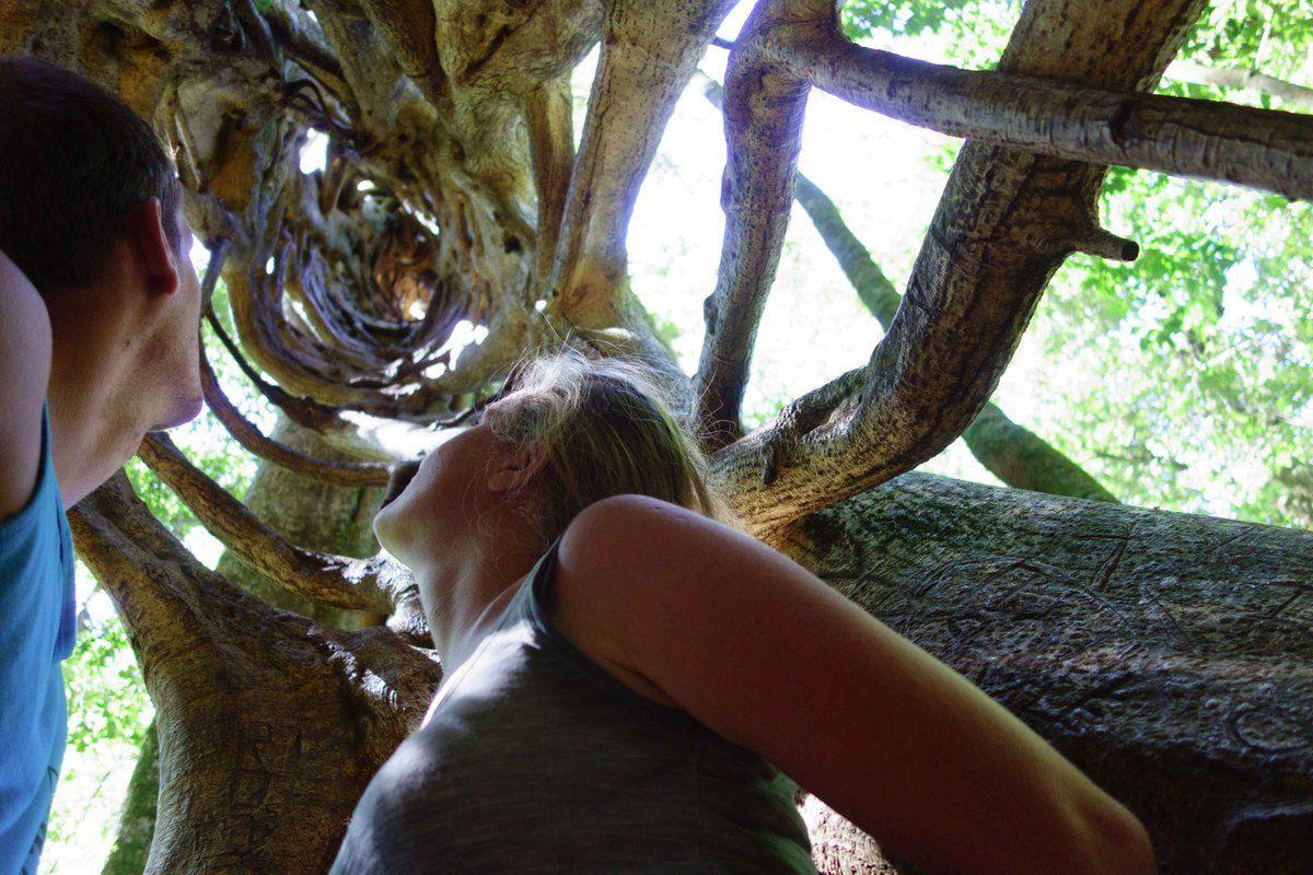 Ficus 2 - Arbol Hueco