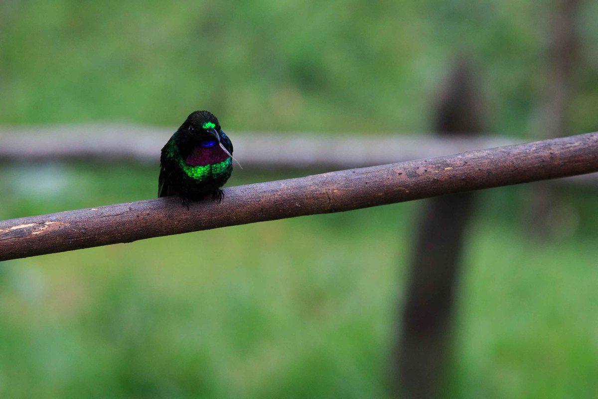 Les petits colibris