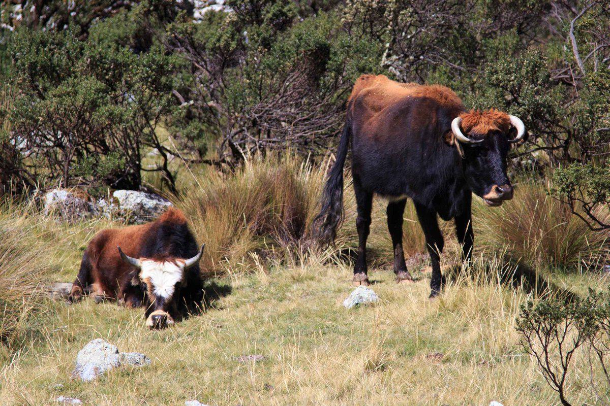 Vaches bicolores