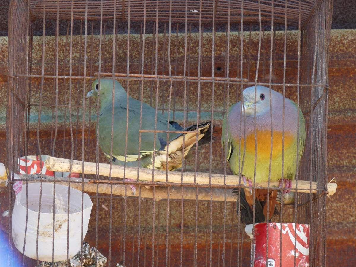 Koh Bulon Leh :  forêt d'hévéas, Pink-Necked Green Pigeon (dommage qu'ils mettent ces magnifiques oiseaux en cage...), pagure