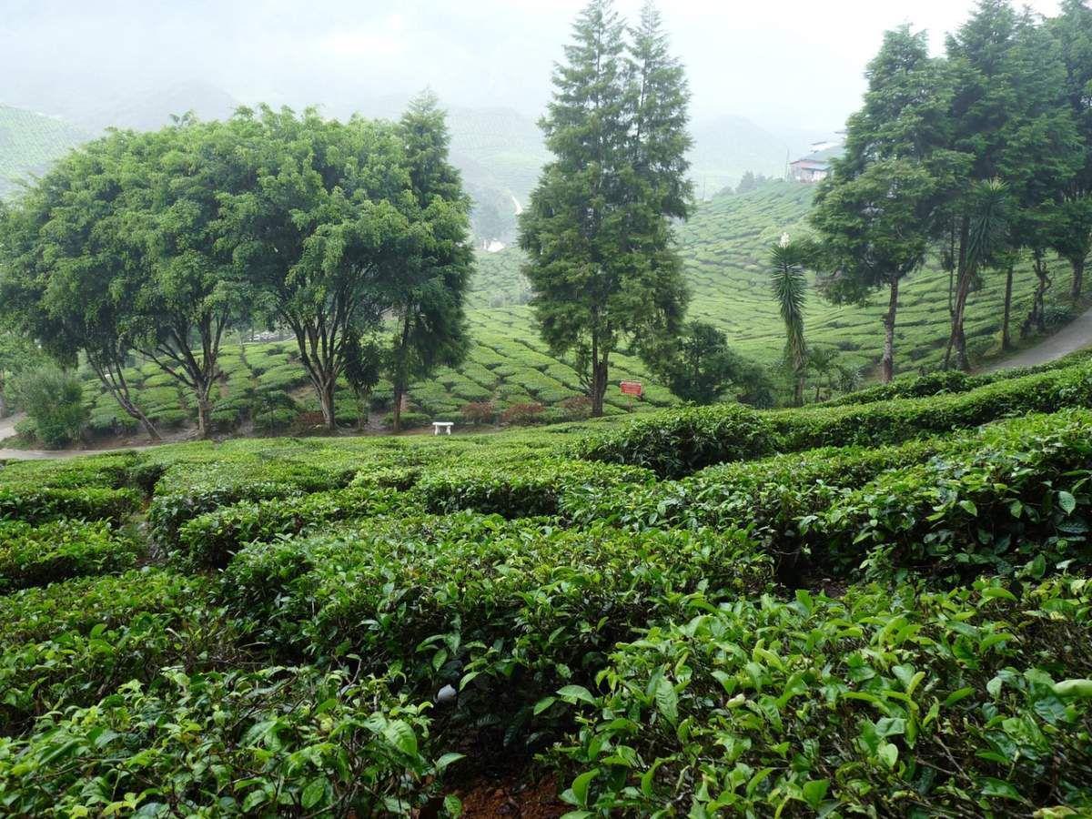 Cameron Highlands : les plantations de thé de Bharat
