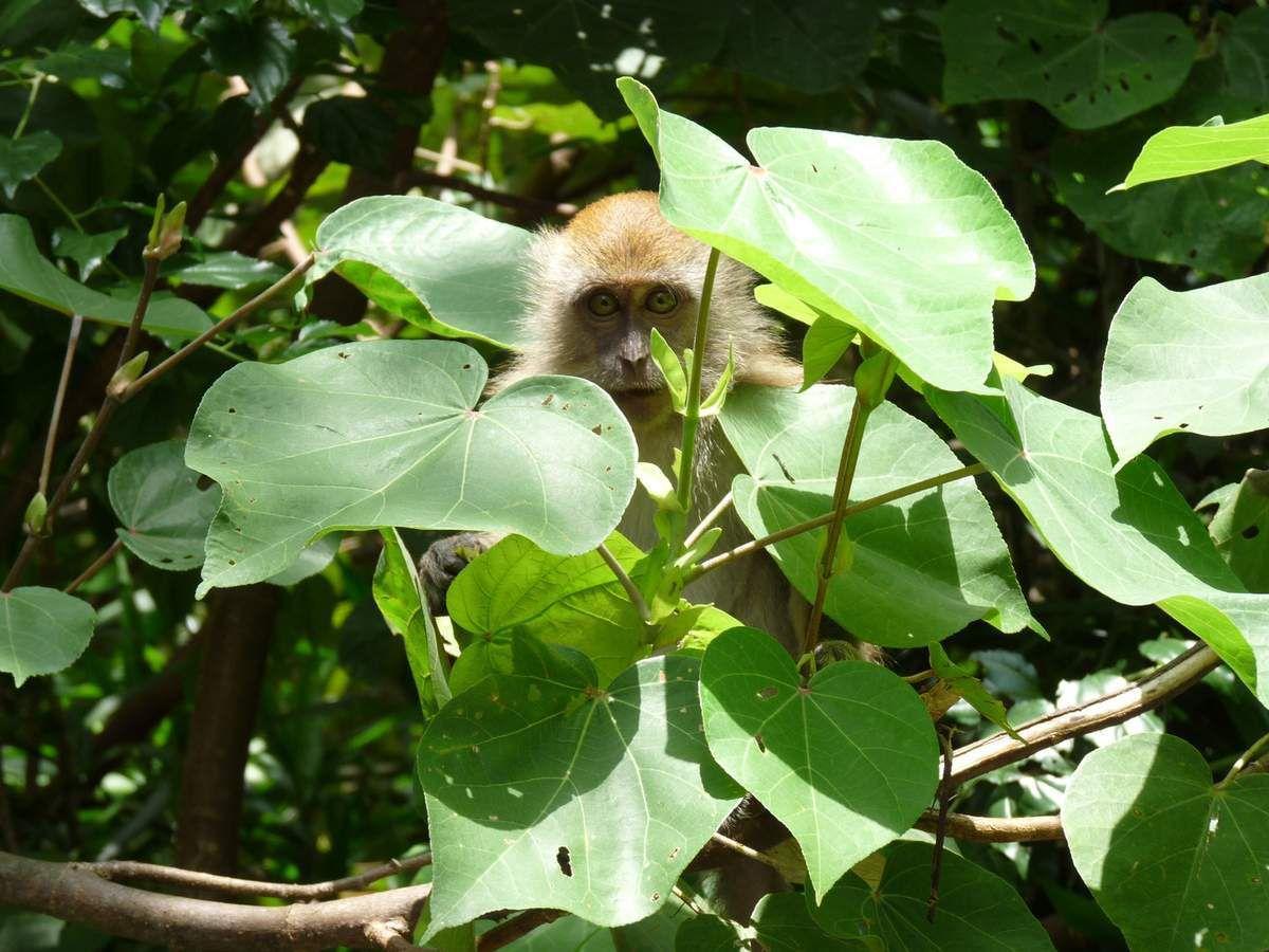 Pulau Tioman, nos voisins, des macaques voleurs et le guetteur