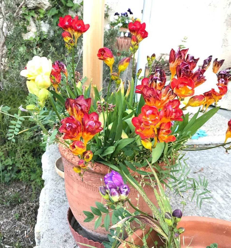 Freesias multicolores