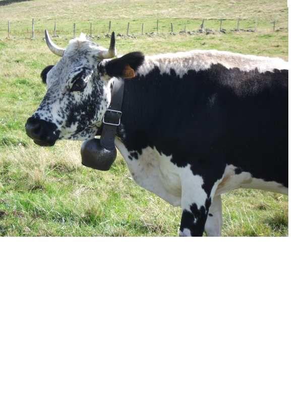 La vache vosgienne est un patrimoine écologique à conserver sur le plan régional