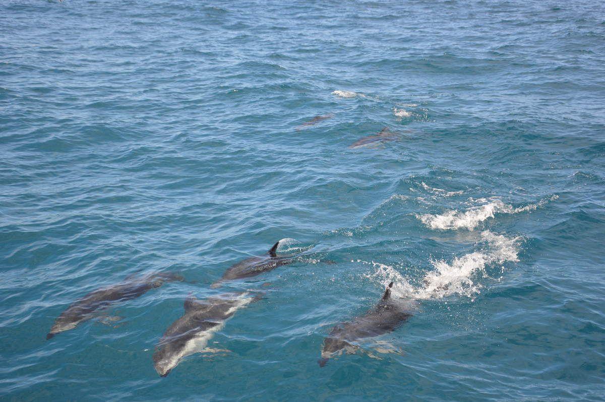 Kaikoura- Dolphin Encounter