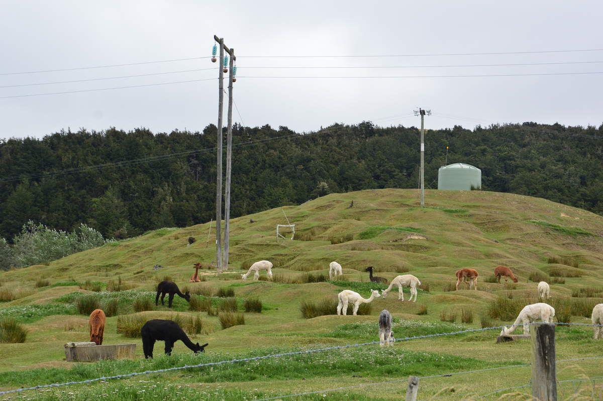 Nous croisons des lamas sur le bord de la route...