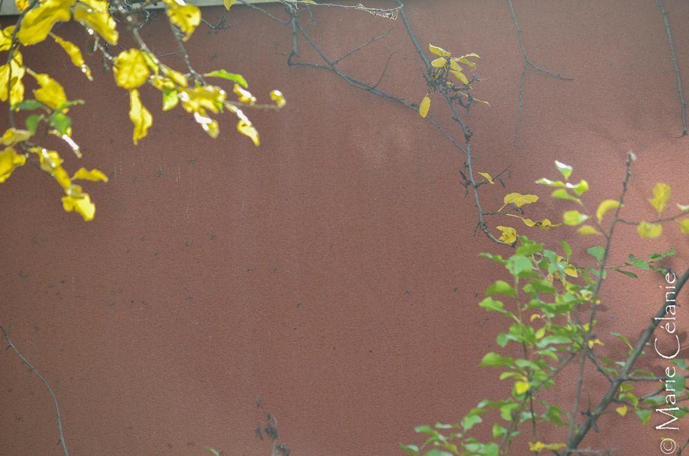 J'ai pris l'habitude de photographier ces branches de prunier qui se détachent sur le mur de clôture de mon jardin, au fil des saisons. Voici donc les branches en automne!