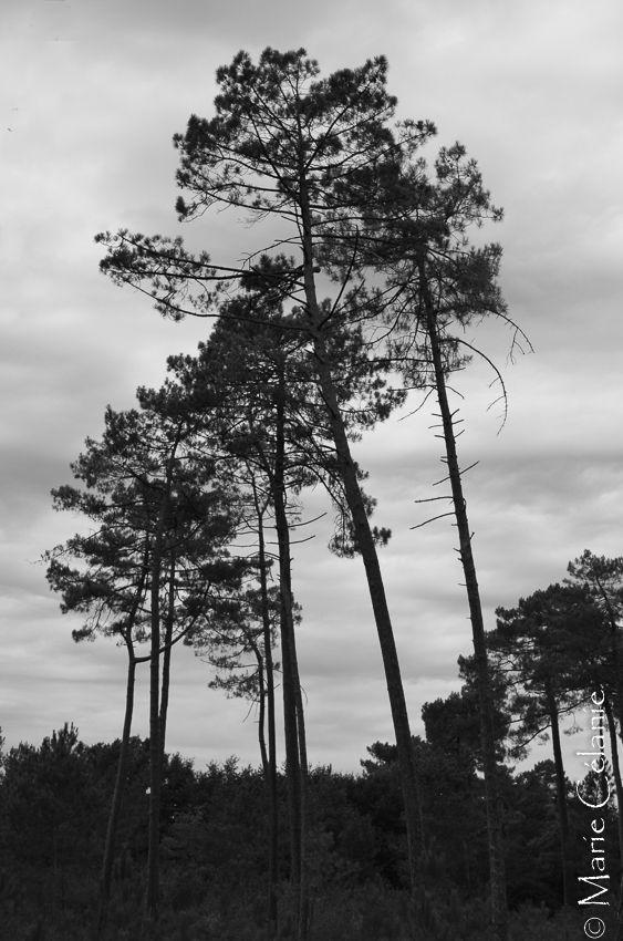 """Dans les Landes de Gascogne, à Marquèze, a été recréé un """"quartier"""" tel qu'il existait au XIXème siècle lorsque les landes étaient couvertes d'ajoncs , de fougères et de bruyères....et sans aucun pin!! les fameux pins des landes furent plantés plus tard. Donc, on prend un vieux petit train qui nous conduit à Marquèze découvrir la forêt actuelle, les traces de la récolte de la résine des pins, en particulier le quai des barriques, les ruches très spéciales et l'habitat authentique : les bâtiments, en bois, ont été déplacés depuis d'autres quartiers pour reconstituer un espace de vie tel qu'il existait. Bonne visite!"""
