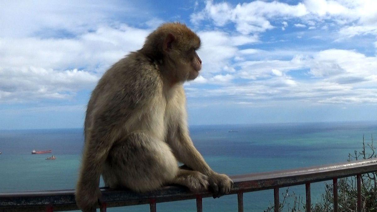 Les singes du rocher