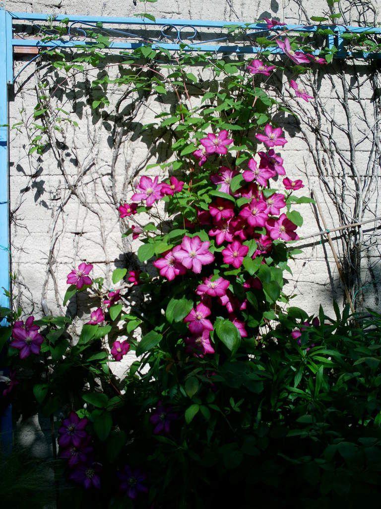 Roses blanches et clématites.