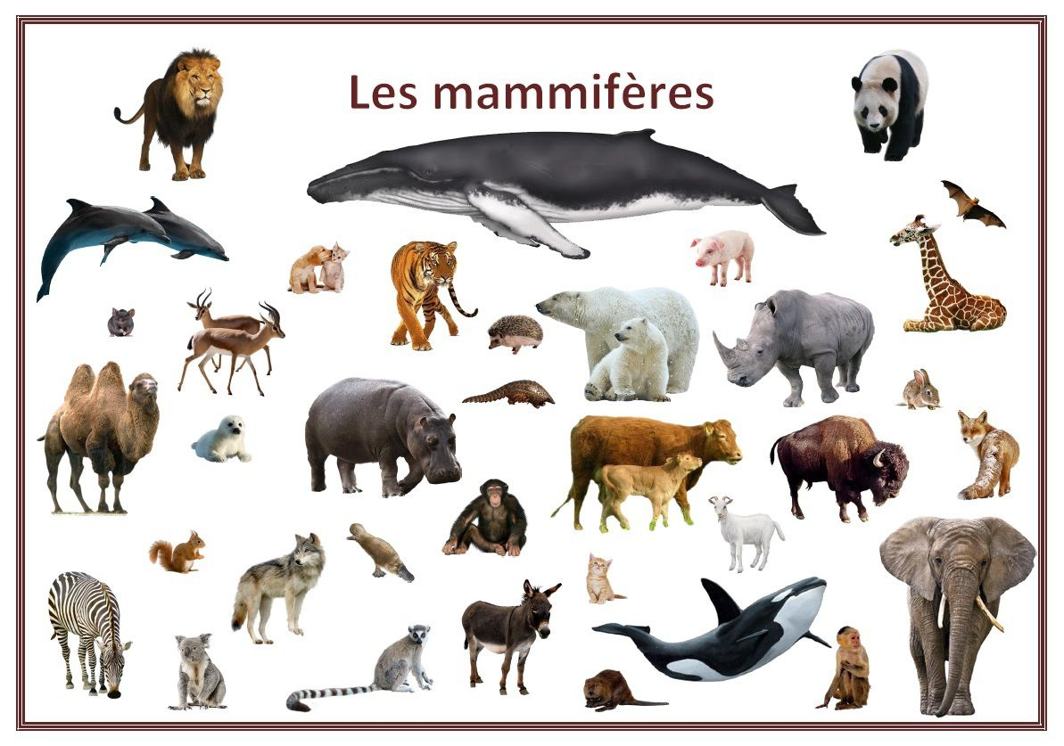 Resultado de imagen para les mammifères
