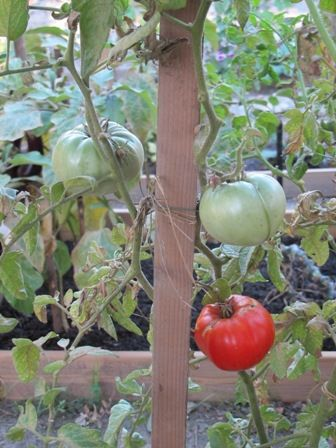 Tomates, navets, le murier