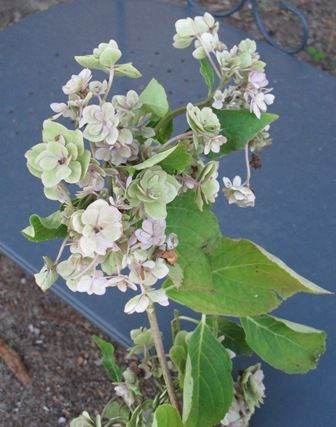 L'hydrangea macrophylla YOU AND ME ROMANCE