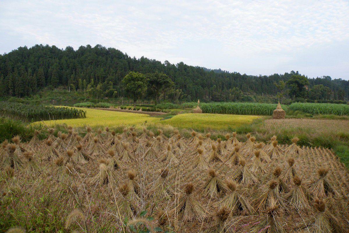 la moisson du riz se fait de différentes façons