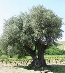 Un oliver -An olive tree