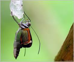 La naissance du papillon...