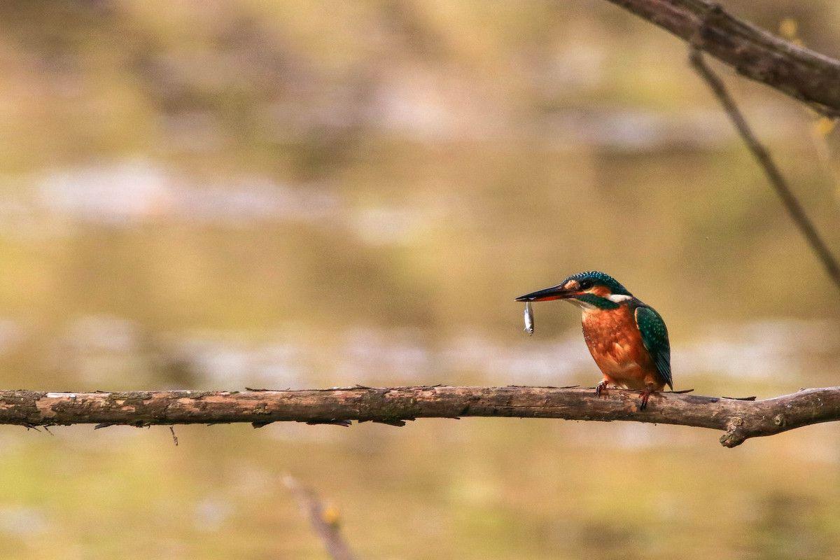 Martin-pêcheur (3 photos)