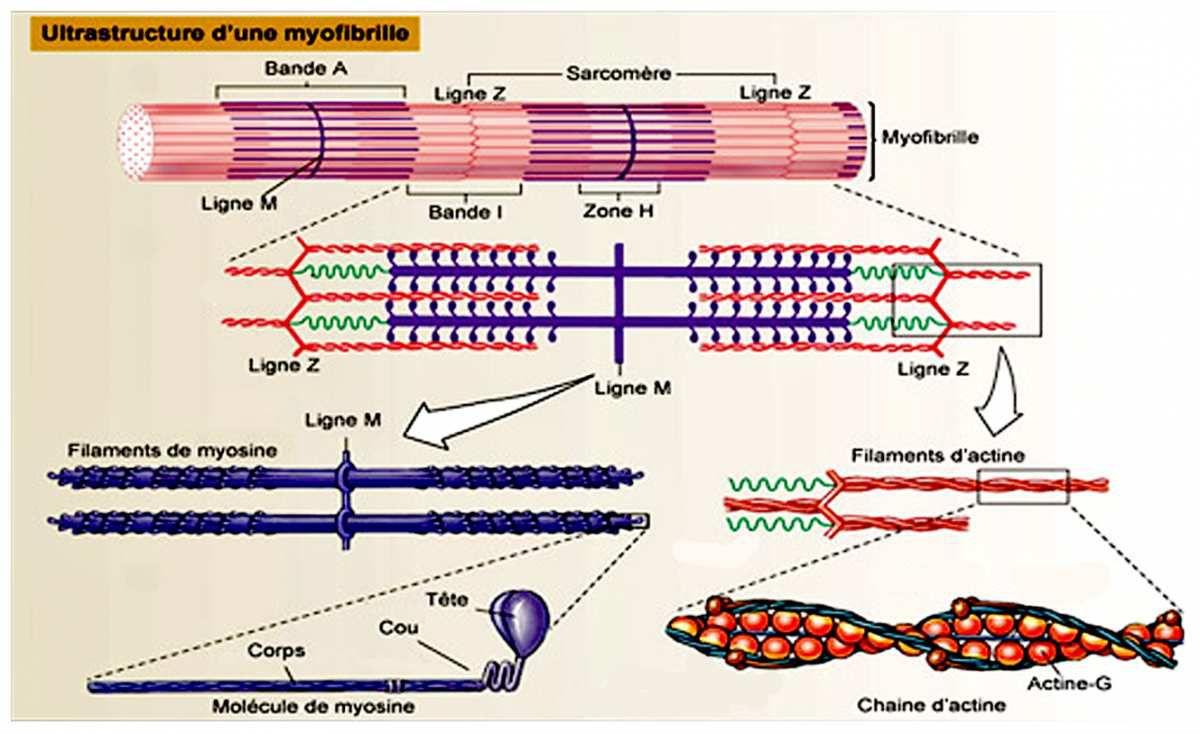 Le système contractile et Fibres musculaires