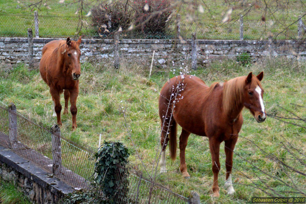 Chevaux des prés voisins à Aubazine